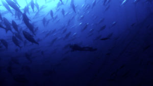 Bluefin tuna swim in cage